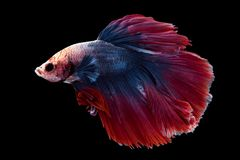 Beautiful betta splendens isolated on black background. Close-up of siamese fighting fish betta splendens isolated on black background stock image