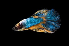 Beautiful betta splendens isolated on black background. Close-up of siamese fighting fish betta splendens isolated on black background royalty free stock photos