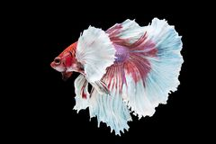 Beautiful betta splendens isolated on black background. Close-up of siamese fighting fish betta splendens isolated on black background stock images