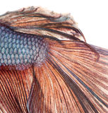 Close-up of a Siamese fighting fish's caudal fin, Betta splendens. Isolated on white royalty free stock images