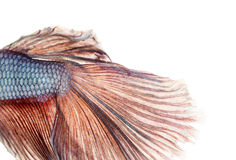 Close-up of a Siamese fighting fish's caudal fin, Betta splendens. Isolated on white stock image