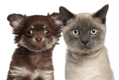 Close-up of Siamese kitten, 6 months old Stock Photography