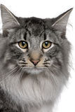 Close up of a Siberian  (8 months old) Royalty Free Stock Image