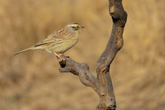 Siberian Accentor stock image