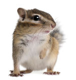 Close-up of a Siberian chipmunk, Euamias sibiricus. In front of white background Stock Photos