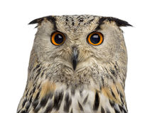 Close-up of a Siberian Eagle Owl - Bubo bubo Royalty Free Stock Photography