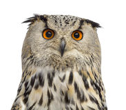 Close-up of a Siberian Eagle Owl - Bubo bubo Stock Images