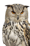 Close-up of a Siberian Eagle Owl - Bubo bubo. (3 years old) in front of a white background Royalty Free Stock Photos