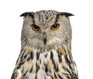 Close-up of a Siberian Eagle Owl - Bubo bubo. (3 years old) in front of a white background Stock Image
