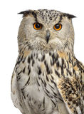 Close-up of a Siberian Eagle Owl - Bubo bubo. (3 years old) in front of a white background Stock Photo