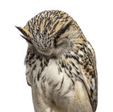 Close-up of a Siberian Eagle Owl sleeping - Bubo bubo. (3 years old) in front of a white background stock photos