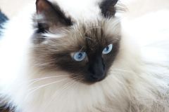 Siberian Forest Cat with Far away eyes. Stock Image