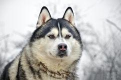 Close up of siberian husky. On a winter background Royalty Free Stock Photography