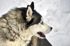 Close up of siberian husky. On a snow background Royalty Free Stock Images