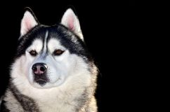 Close up of siberian husky. Isolated on black Royalty Free Stock Photography