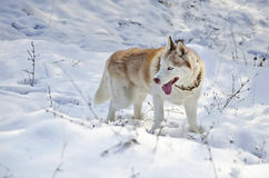 Close up of siberian husky Stock Photo