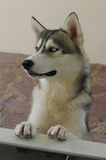 Close-up of Siberian Husky. Cute dog Stock Images