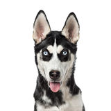 Close-up of a Siberian Husky panting, 7 months old Royalty Free Stock Image