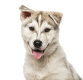 Close-up of Siberian Husky Puppy, isolated on white Royalty Free Stock Photography
