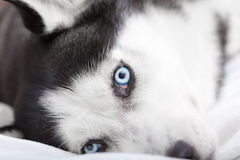 Close up of the siberian husky's eyes. A beautiful Siberian Husky dog is showing his colorful blue eyes while is lying down and resting above a white bed royalty free stock photography