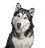 Close-up of a Siberian Husky, 4 years old ,  Royalty Free Stock Images