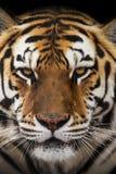 Close up of a Siberian tiger Panthera tigris altaica. Close up view of a Siberian tiger Panthera tigris altaica Royalty Free Stock Images