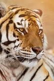 Close up of a Siberian tiger Panthera tigris altaica. Close up view of a Siberian tiger Panthera tigris altaica Royalty Free Stock Photo