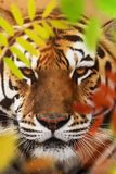 Close up of a Siberian tiger Panthera tigris altaica. Close up view of a Siberian tiger Panthera tigris altaica Royalty Free Stock Photography