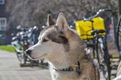 Close Up Of A Sibernian Huskey Dog.  Royalty Free Stock Images