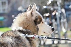 Close Up Of A Sibernian Huskey Dog.  Stock Images