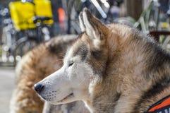 Close Up Of A Sibernian Huskey Dog.  Stock Photos