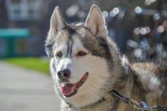 Close Up Of A Sibernian Huskey Dog.  Royalty Free Stock Photos