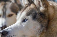 Close Up Of A Sibernian Huskey Dog.  Stock Photo