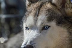 Close Up Of A Sibernian Huskey Dog.  Stock Photography