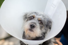 Close up  Sick dog wearing Royalty Free Stock Image
