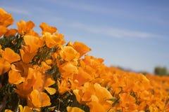 Close up Side Angle Bright Orange California Poppies under Blue Sky stock photos