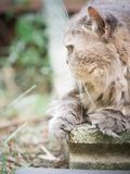 Close up side of face from beauty old female gray persian cat wi. Th long hair sit in garden with soft focus background Stock Image