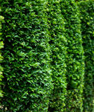 Close up Side of green bush. Green bush with clear weather Royalty Free Stock Image