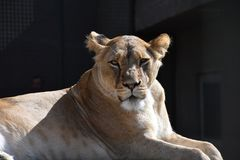 Close up side portrait of female African lioness stock photography