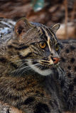 Close up side portrait of fishing cat Royalty Free Stock Photos