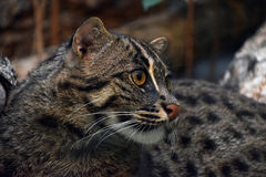 Close up side portrait of fishing cat Royalty Free Stock Images