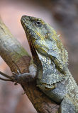 Close up side portrait of frilled lizard on tree Stock Photos