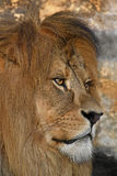 Close up side portrait of male African lion Royalty Free Stock Image