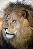 Close up side portrait of male African lion Royalty Free Stock Photography