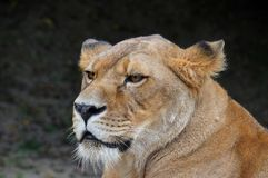 Close up side portrait of male African lioness. Close up side portrait of female African lioness, looking away royalty free stock photography