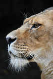 Close up side portrait of male African lioness Stock Image