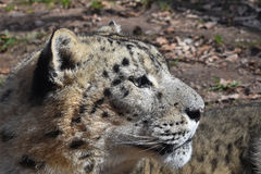 Close up side portrait of snow leopard. Close up side pfofile portrait of male snow leopard or ounce, Panthera uncia looking away from camera, low angle view Royalty Free Stock Photography