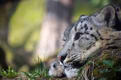 Close up side portrait of snow leopard Royalty Free Stock Images