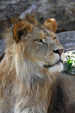 Close up side portrait of young male African lion Royalty Free Stock Image