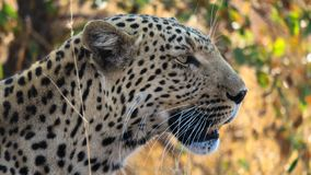 Close up side profile of African leopard Panthera pardus pardus. Side profile of African Leopard Panthera pardus pardus of head and neck with grass in the royalty free stock images